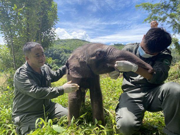 Alle viikon ikäinen vauvanorsu toipuu jo koettelemuksestaan ja eläinlääkäri uskoo sen selviävän.