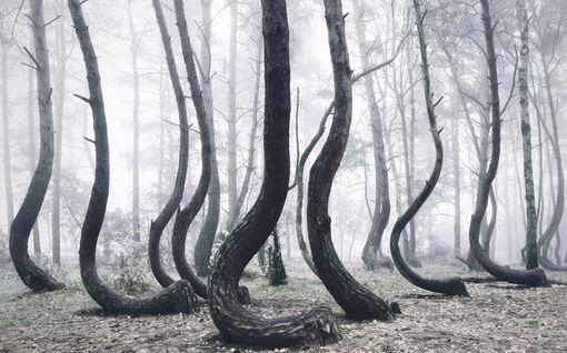 Puolalaisessa metsässä kasvaa outoja puita, eikä kukaan tiedä miksi
