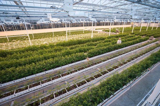 Tänne suomalaiset piensijoittajat innostuivat lokakuussa sijoittamaan. Auroa Cannabis -yhtiön viljelmiä Edmontonissa Kanadassa.