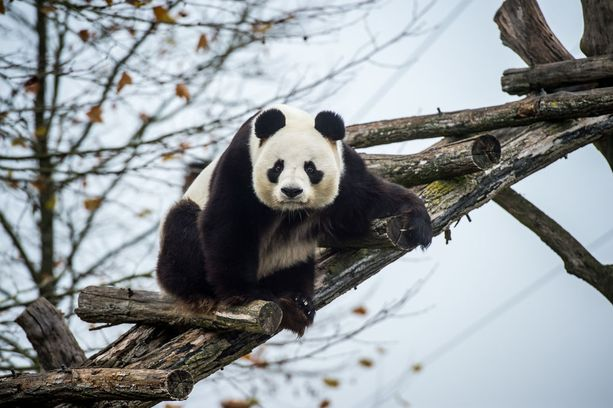 Kiina lainasi Suomelle kaksi jättiläispandaa Pandat sijoitetaan Ähtäriin.