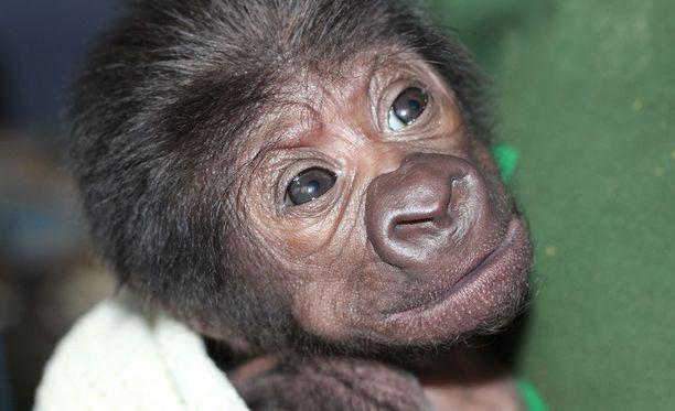 Gorillavauvat ovat erittäin suojeltuja.