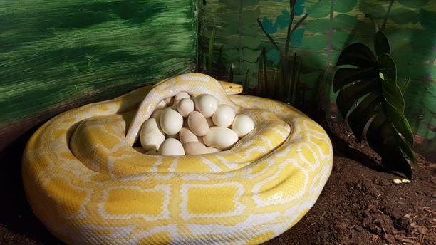 Naaras vahtii munia herkeämättä.