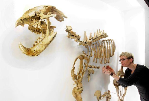 200 000 vuotta sitten eläneen luolaleijonan luuranko näytteillä esihistorian museossa Saksassa vuonna 2010.