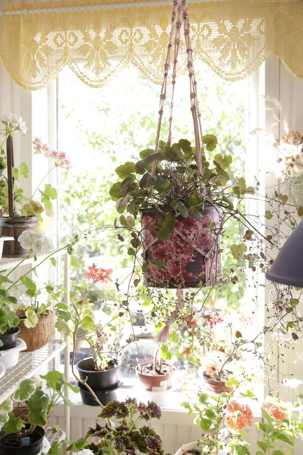 Pelargonium australe on viime vuosina kasvattanut suosiotaan trendikkäänä kesäkukkana. Kauniin mättään muodostava luonnonlaji sopii myös amppelikasvatukseen.