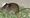 Aikuinen riuttamosaiikkirotta oli noin 15 senttiä pitkä ja sillä oli samanmittainen häntä.