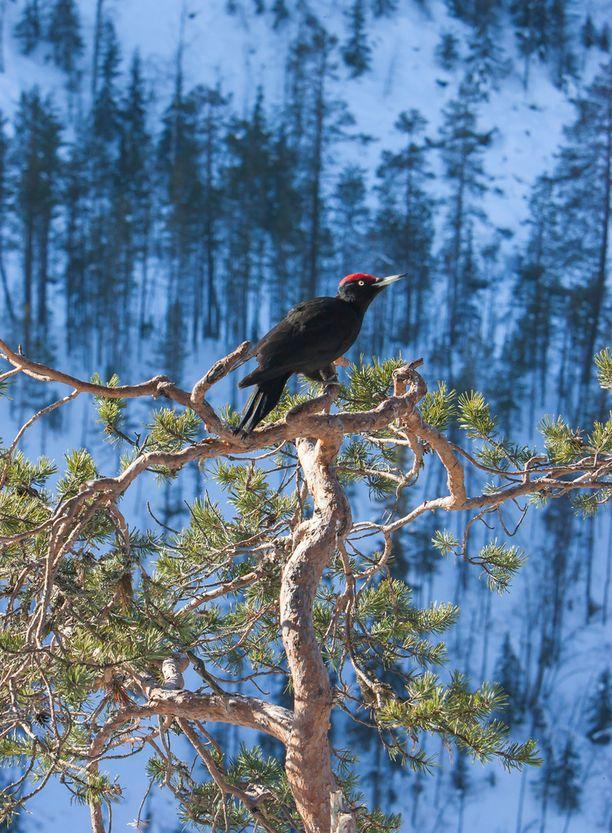 Olli Lamminsalo on ikuistanut upeita lintukuvia. Kuvassa palokärki.