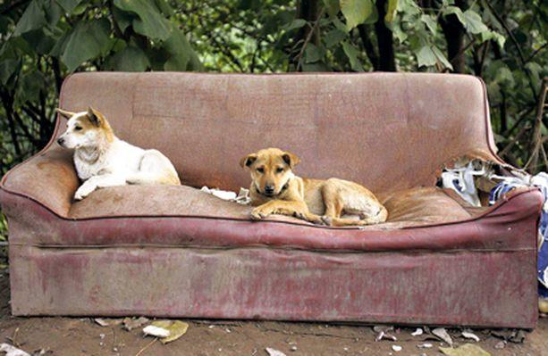 Leppostelua Näin lokoisasti makoili kaksi koiraa hylätyllä sohvalla Kiinan Chongqingissä.