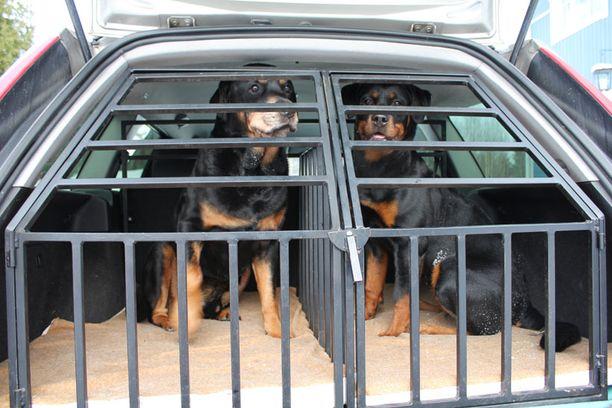 KOKENUT Mittojen mukaan Fordin peräkonttiin tehdyssä häkissä on omat tilat kahdelle koiralle. Alta vuosikas Ruttu omalla paikallaan. Viereisessä häkissä yleensä matkustava Pinja on sairauslomalla.