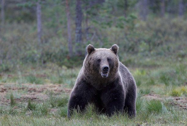 Karhu hyökkäsi lintumetsällä olleen metsästäjän kimppuun tiistaina. Kuvan karhu ei liity tapaukseen.