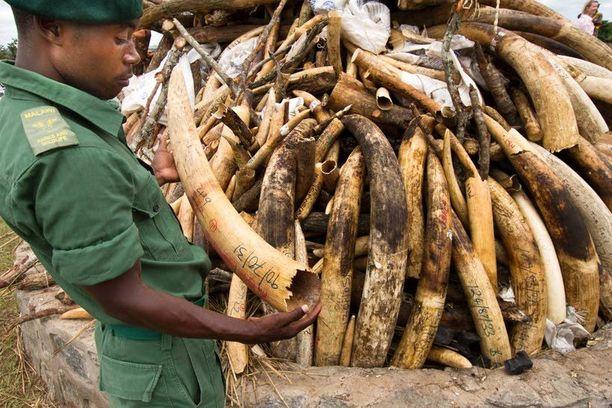 Viranomainen piteli käsissään salametsästettyä norsun syöksyhammasta Malawissa.