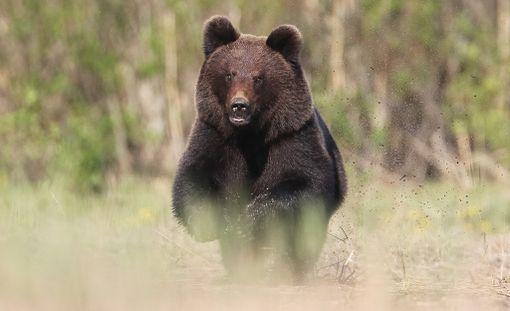 Poliisi epäilee emokarhun ampujaa törkeästä metsästysrikoksesta. Kuvan karhu ei liity tapaukseen.