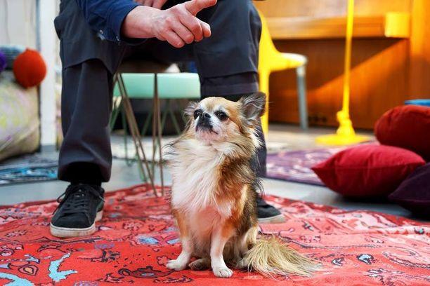 Pancho-koira seurasi isäntänsä työskentelyä. Jää nähtäväksi, saako chihuahua roolin ulkokohtauksissa.