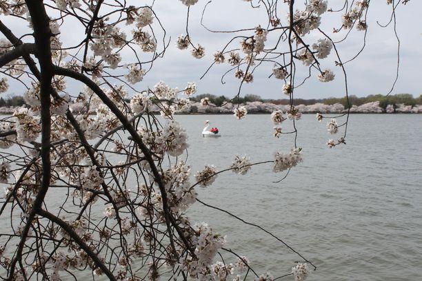 Kirsikkapuut on istutettu suuren lammen rantaan ja polkuveneen vuokraus on yksi tapa nauttia upeasta maisemasta.