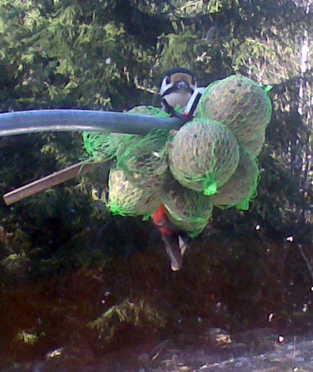 Talipallot kelpaavat isommillekin linnuille.