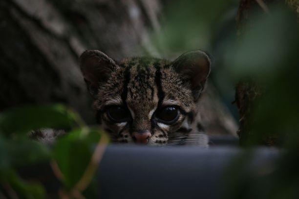 """Uhanalainen margai on kansainvälisessä luokittelussa tällä hetkellä """"silmälläpidettävä"""", eli harvalukuinen laji."""