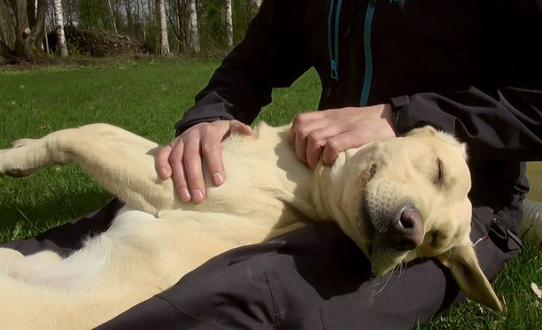 Rokka-koira hyödyntää nenäänsä norsunluun löytämiseksi.