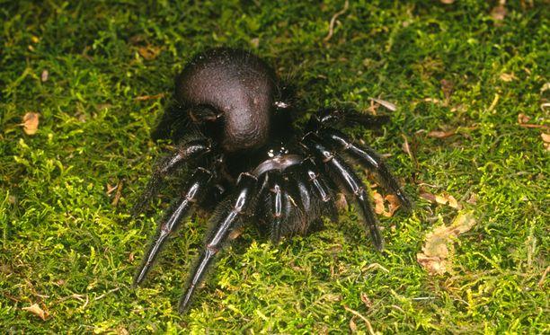 Atrax robustus -hämähäkin myrkky aiheuttaa lihaskramppeja ja jopa kuoleman.