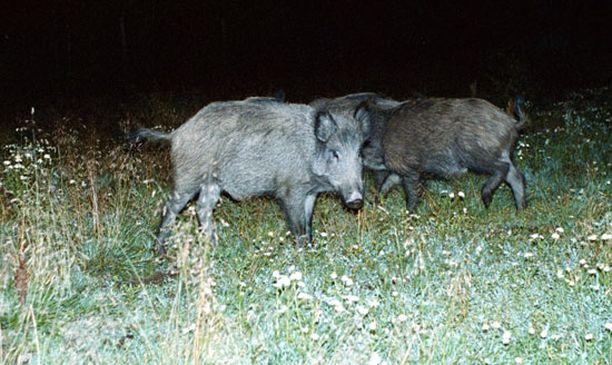 Kuvan villisikoja jahdattiin niiden karattua tarhalta Pukkilassa kesällä 2001.