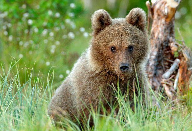 Suojellulla karhunpennulla oli vielä maitohampaat. Kuvituskuva.