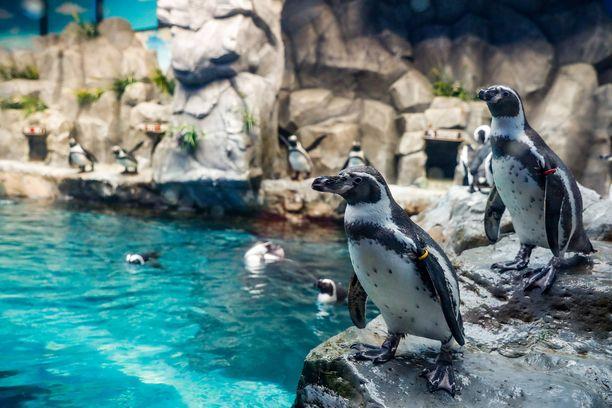 Pingviinit ovat uteliaita otuksia. Kuvituskuva.