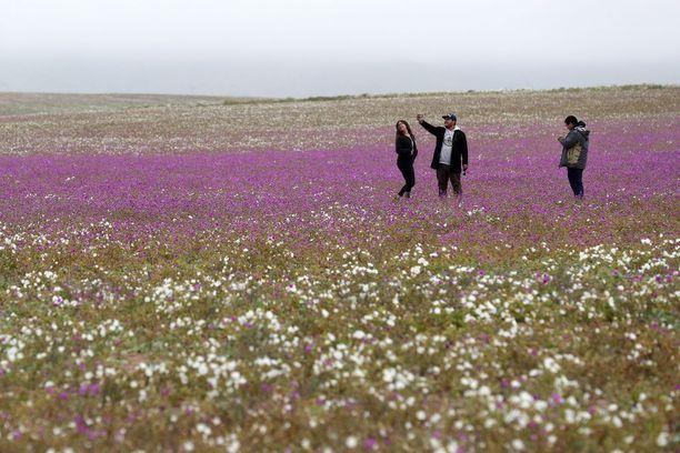 Kukkiva aavikko on saanut tuhansia turisteja matkustamaan Atacamaan.