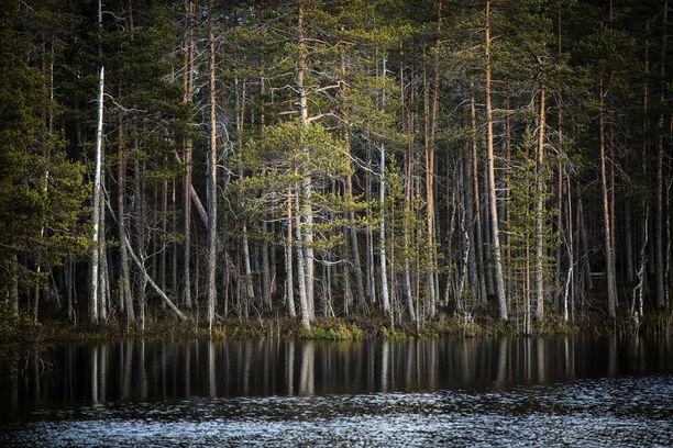 Metsä on hiilinielu. Suomen hiilinielut ovat uusissa laskelmissa selvästi aiempaa pienemmät.