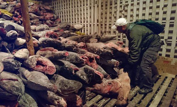 Kiinalaisaluksesta löytyi 300 tonnia kalaa.