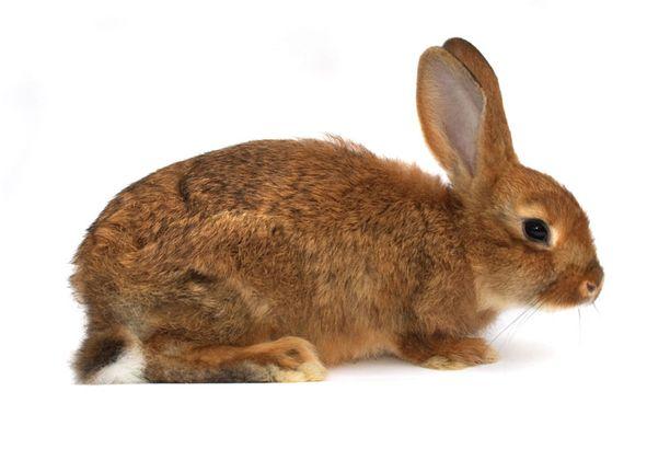 Ruotsalaistutkijan mukaan kaninlihan tuotantoa olisi hyvä lisätä.