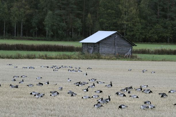 Valkoposkihanhet aiheuttavat vuosittain valtavat tuhot viljelytiloilla.