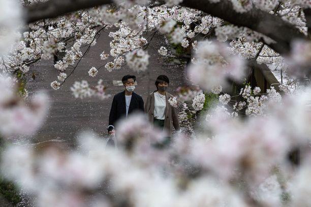 Kioton kaupungissa kirsikankukat kukkivat tänä vuonna 10 päivää aikaisemmin kuin sata vuotta sitten.