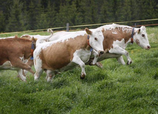 Tilan eläimet ovat suomenkarjaa, kuten kuvan laitumelle kirmaavat kyytöt. Kuvan lehmät eivät liity tapaukseen.