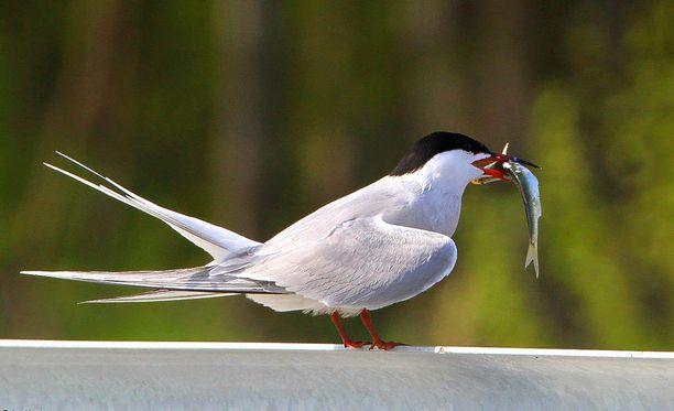 Kalatiira ei ole ainoastaan kova lentämään, se on myös haka kalastamaan.