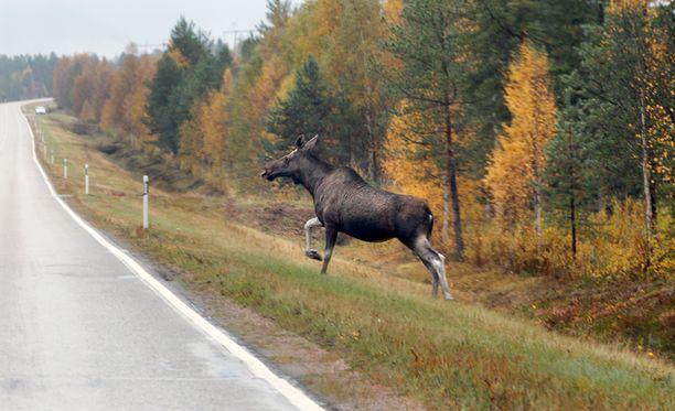 Metsänomistaja tuskailee Maaseudun Tulevaisuudessa hirvien aiheuttamia vahinkoja. Yli 1000 hehtaarin metsissä tuhoja tulee 25 000 euroa vuodessa.