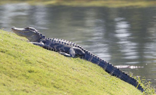 Kaksi yhdysvaltalaismiestä otti alligaattorin kiinni ja pakottivat sen juomaan olutta.