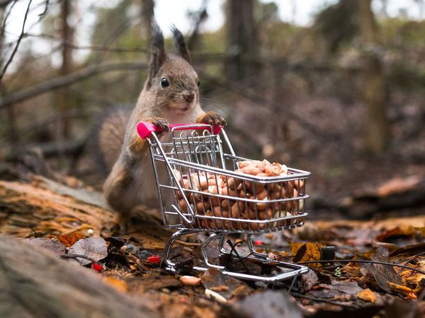 Valokuvaaja Ossi Saarinen sai toivomansa kuvan oravasta ja ostoskärryistä, kun malttoi odottaa pari tuntia eläimen tulemista kärryjen luo sopivassa kuvakulmassa.