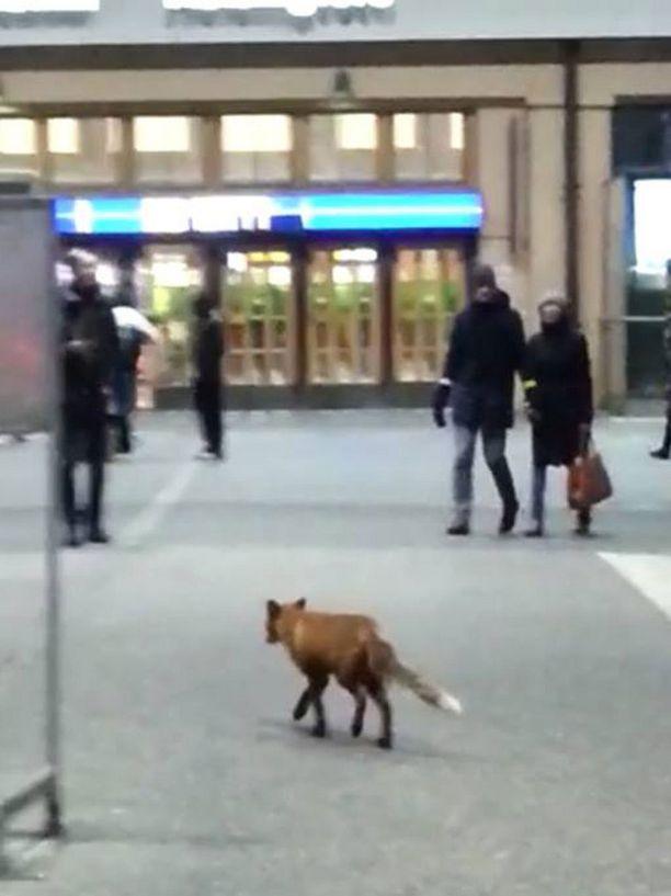 Perjantaina Helsingin päärautatieasemalla ihmisten joukossa tepasteli kettu.