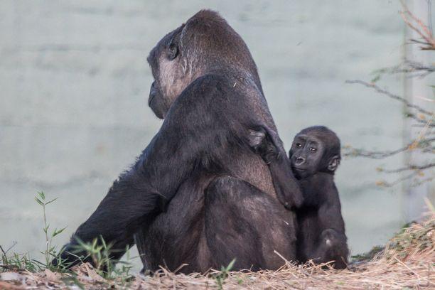 Pikkuinen gorilla tutustuu ujosti, mutta uteliaasti ympäristöönsä.
