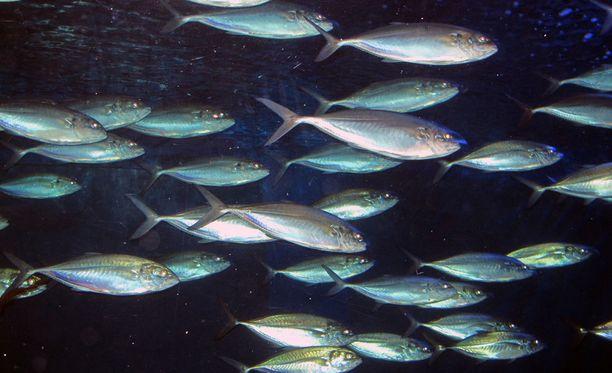 """Tutkijat arvelevat, että kalat kommunikoivat """"pieruäänten"""" välityksellä."""