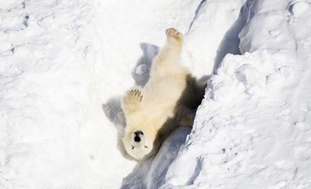 Jääkarhunpentu ulkoili ensimmäisen kerran maaliskuussa.