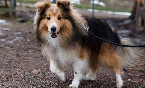 Seppo on seitsemänvuotias shetlanninlammaskoira.