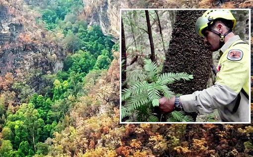 """Salainen """"dinosauruspuumetsä"""" saatiin pelastettua paloilta Australiassa: """"Tämä oli ennennäkemätön suojelutehtävä"""""""