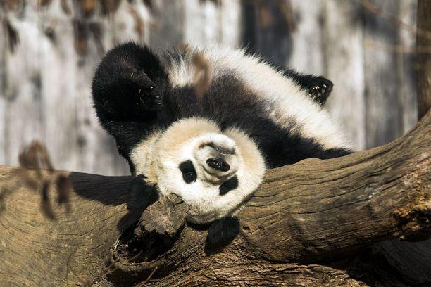 Panda sellaisena, jona se haluaa meidän näkevän itsensä.