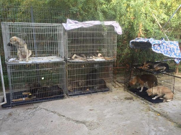 Kuva Kirputtajat ry:n sterilisointikampanjasta lokakuussa. Yhdistys sterilisoi alueella viime vuonna vähän yli 300 koiraa.
