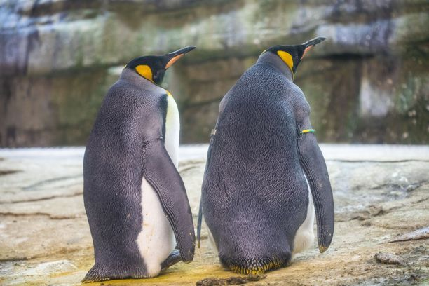 Molemmat pingviinit hautovat munaa.