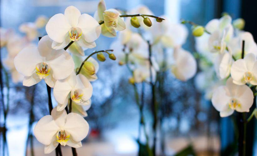 Orkidea Allergia