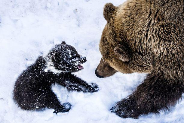 Mies ampui karhunpennun metsästyskiväärillä Kuusamossa. Arkistokuvan karhut ovat Raunan eläinpuistosta.