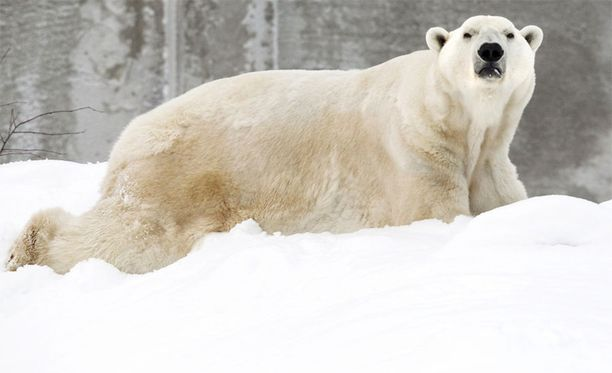 Manasse-jääkarhu jouduttiin lopettamaan.