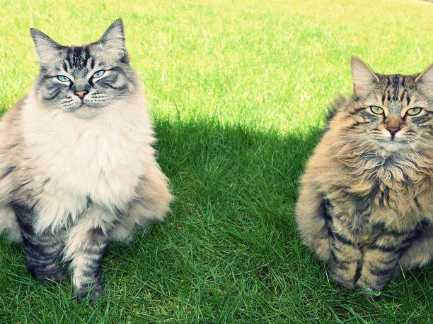 Kissojen käyttäytymistä on tutkittu yllättävän vähän verrattuna koirien käyttäytymiseen.