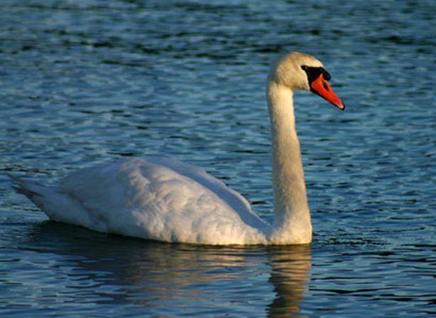 Aamulla kotirannasta käsin järveltä bongattu jalaton joutsen.