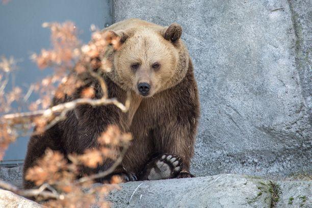 Viime talvi oli poikkeuksellinen, sillä karhut havahtuivat hereille useita kertoja jo tammikuussa, mutta hiukan syötyään ne jatkoivat unia helmikuun lopulle. Eläintarhassa jännitetään nyt, millainen tästä talvesta tulee.